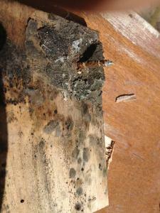 Old wood dies hard.